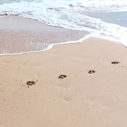 Paw prints on the sand